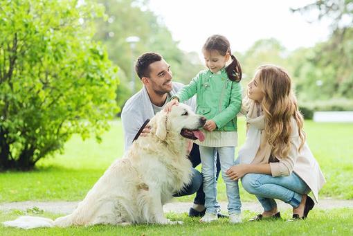 Golden Retriever – der Familienliebling