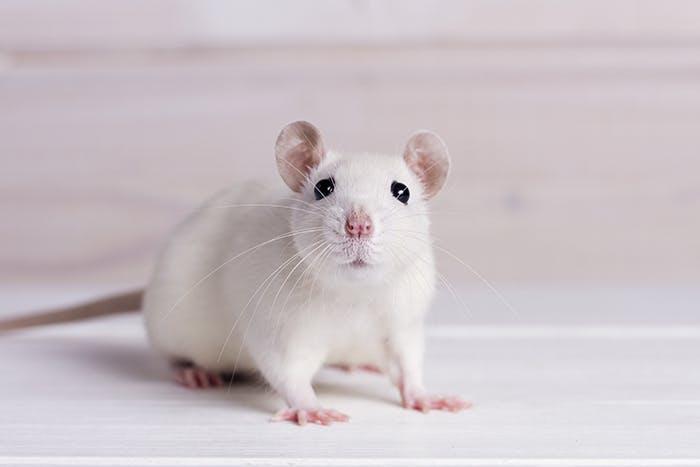 Die Ratte im Porträt