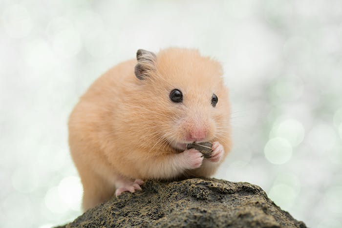 Hamstersnacks