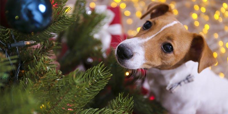 Hund vor Weihnachtsbaum