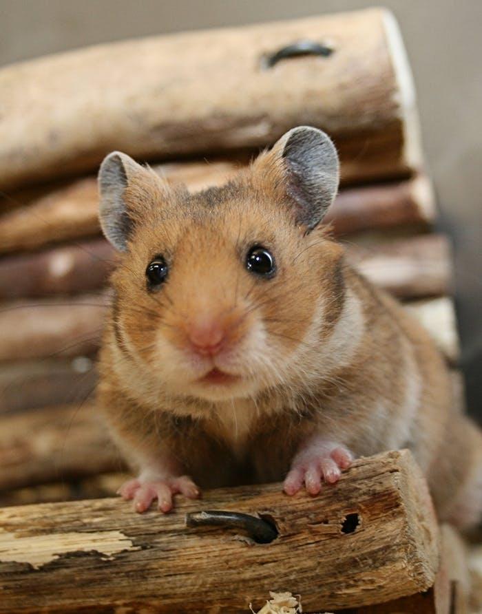 [Translate to Österreich:] Hamster Erstausstattung