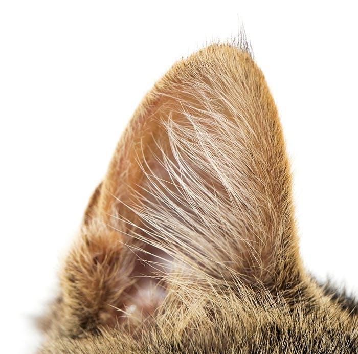 Das Katzenohr: Gehör und Gleichgewicht zugleich