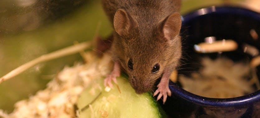 Snacks für Mäuse