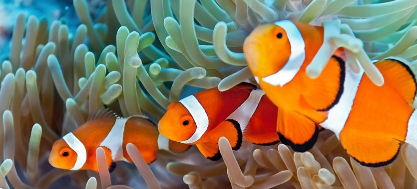 Clownfische im Meerwasseraquarium