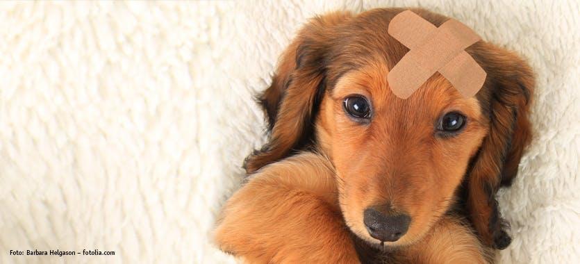 Hund mit Pflaster