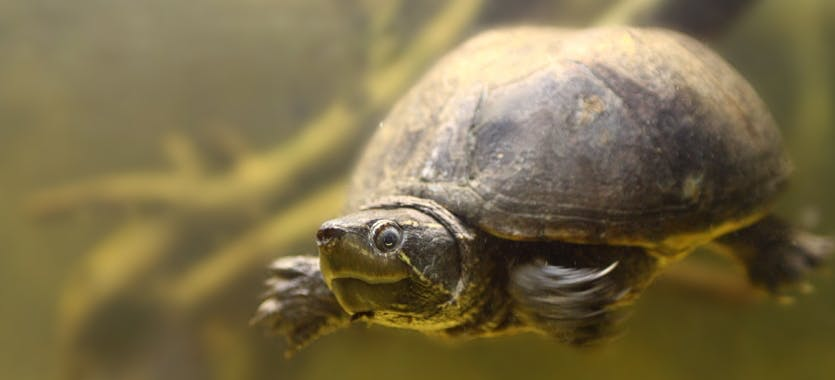 Die Haltung von Wasserschildkröten