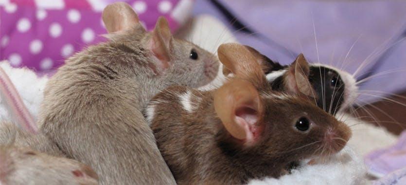 Tipps zur Mäusehaltung