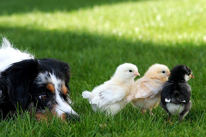 Hund und Küken
