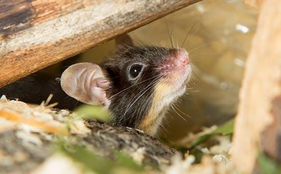 Ernährung für Mäuse und Ratten