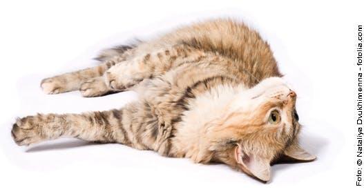 Katzenträchtigkeit und Katzengeburt