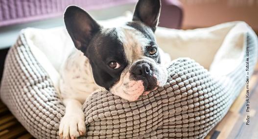 Französische Bulldogge – die Anhängliche