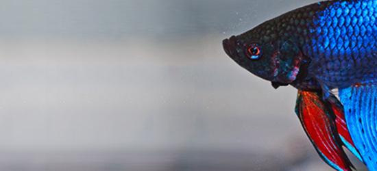 Meerwasserfisch Kapffisch