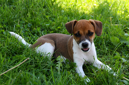 Hundewelpe Jack Russel
