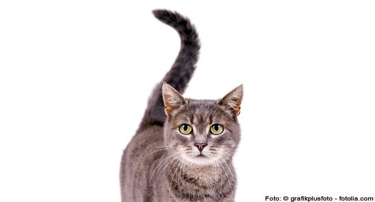 Schwanzhaltung Katze