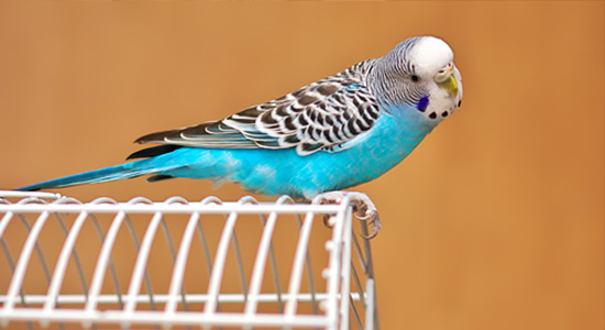 Lieblingsvogel Wellensittich